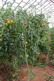 Tomato Plant. With Red and Green Tomatoes in an Industrial Green House Stock Images