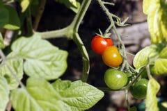 Tomato Plant Royalty Free Stock Photography