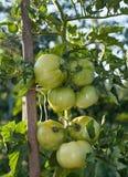 Tomato Plant Ripening. Green tomatoes ripening in domestic organic garden Stock Photo