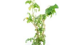 Tomato plant ripening time lapse, white background stock video footage