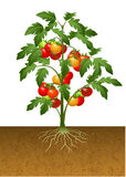 Tomato plant with root under the ground stock illustration