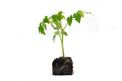 Tomato plant Stock Photography