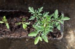 A tomato plant in a small pot. Tomato plant with flowers in greenhouse., A tomato plant in a small pot Stock Photo