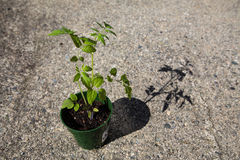 Tomato Plant (solanum lycopersicum) in harsh environment Stock Photography