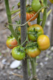 Tomato plant. With some ripening tomatoes. Agriculture and food concept stock photo