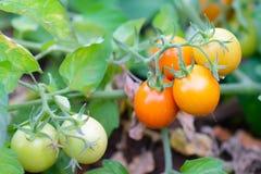 Tomato plant Royalty Free Stock Photos