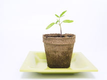 Tomato Plant Starter Stock Photography