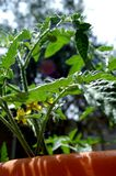 Tomato plant in the sun. A tomato plant flowering just after being watered on a warm, sunny summer day stock photos