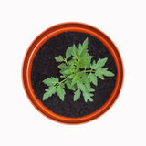 Tomato Plant in Terracotta Pot - isolated on white background. Tomato Plant in Terracotta Pot, from above - isolated on white background royalty free stock photo