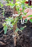 Tomato plant tied with rope stock image