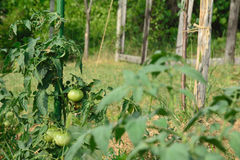 Tomato plant with unripe fruits tied up a stake. Royalty Free Stock Photography