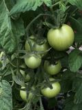 Green Unripe tomatoes on plant. Tomato plant with unripe tomatoes stock photo