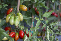 Tomato Plant. Vegetable cultivations: tomato plant, the various stages of maturation Stock Photography