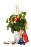 Tomato plant for vegetable garden Stock Images