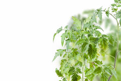 Tomato plant Stock Image