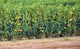Tomato plantation Royalty Free Stock Photos