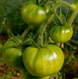 Tomato plantation Stock Images