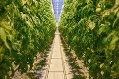 Tomato plantation in greenhouse Stock Image