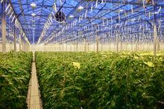 Tomato plantation in greenhouse Royalty Free Stock Photo