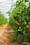 Of tomato plantation in the greenhouse and temperature control Royalty Free Stock Image