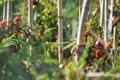 Tomato plantation. Ripe tomatoes on tomato plants Royalty Free Stock Photos