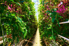 Tomato plantation with special led illumination in greenhouse.  Royalty Free Stock Photography
