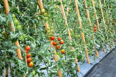 Tomato planted in the field. Tomato planted in the field Royalty Free Stock Image