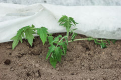 Tomato planted in the ground royalty free stock photos