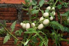 Tomato planting Royalty Free Stock Photo