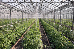 Tomato plants. With tomatoes in hothouse Royalty Free Stock Photo