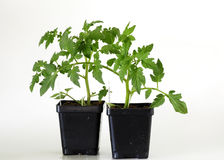 Tomato Plants Stock Images