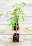 Tomato plants. Young tomato plants growing from peat pods are ready for planting Royalty Free Stock Photography
