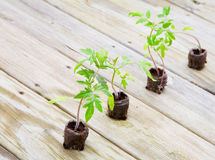 Tomato plants. Young tomato plants growing from peat pods are ready for planting Stock Photo