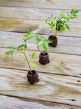Tomato plants. Young tomato plants growing from peat pods are ready for planting Royalty Free Stock Photo