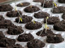 Tomato Plants. Fresh emerging tomato plant sprouts Stock Images