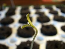 Tomato Plants. Fresh emerging tomato plant sprouts Stock Photos