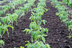 Tomato plants Stock Photography