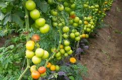 Tomato plants Stock Photo
