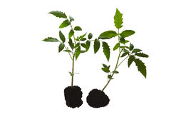 Tomato plants. Two tomato plants isolated on white Royalty Free Stock Image