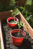 Tomato Plants. Two tomato plants in red tubs about to be potted up into a larger container to allow them to grow bigger Stock Photography