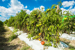 Tomato plants Royalty Free Stock Images