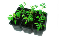 Tomato plants in container. Stock Photo