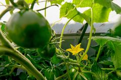 Tomato plants and cucumber plants in a small greenhouse royalty free stock photo