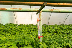 Tomato plants and cucumber plants in vegetable greenhouses. Tomato seedling before planting into the soil, greenhouse plants, dri royalty free stock photo