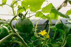 Omato plants and cucumber plants in a small greenhouse royalty free stock photo