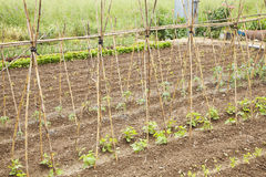 Tomato plants. Cultivated on a field Stock Images
