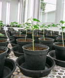 Tomato plants for disease testing. Stock Photos