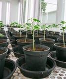 Tomato plants for disease testing. Stock Photos