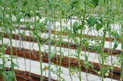 Tomato plants in the farm under vegetable greenhouse Royalty Free Stock Photography