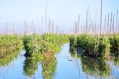 Tomato plants floating on water at Inle lake Myanmar Stock Images